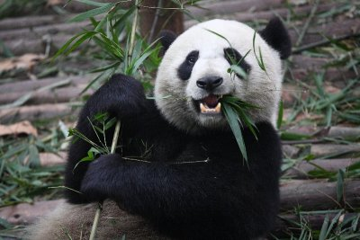 What Do Pandas Eat? Facts about the Diet of a Panda