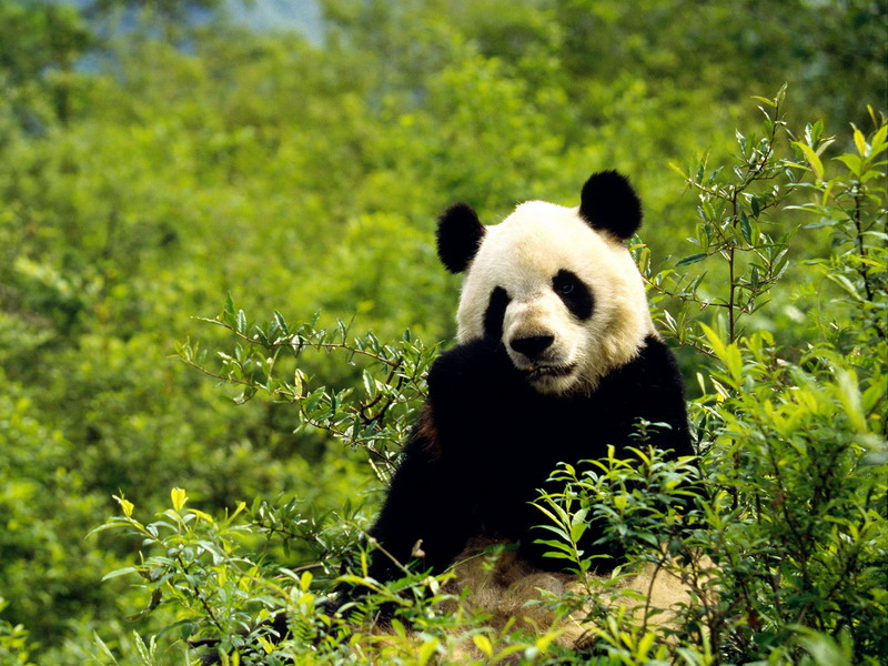 how long does a giant panda live