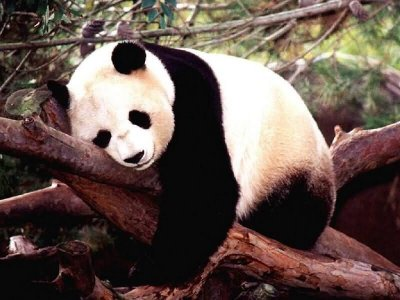 Panda sleeping in a tree.jpg