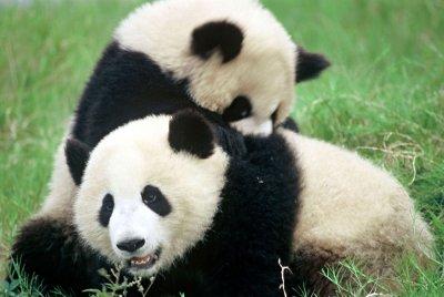 Are-Pandas-Endangered.jpg